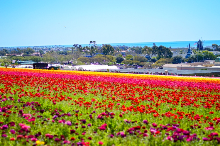 What-to-Wear-to-the-Flower-Fields-in-Carlsbad-CA-5
